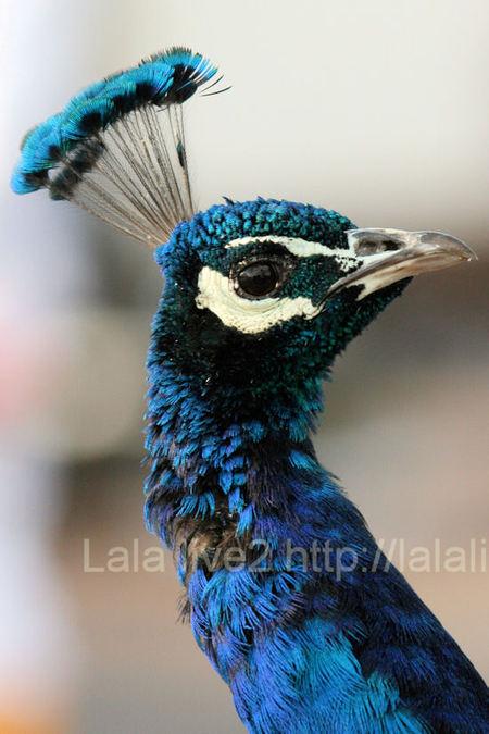 Peacock201101116
