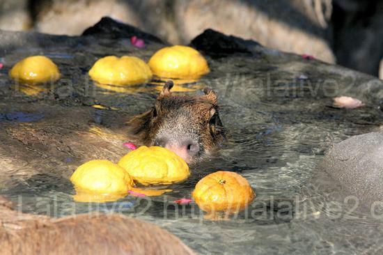 Capybara201101124_2