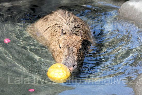 Capybara201101126_2