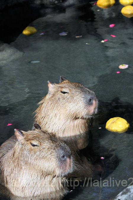 Capybara201101127