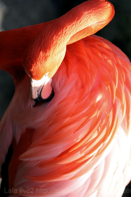 Flamingo20110111