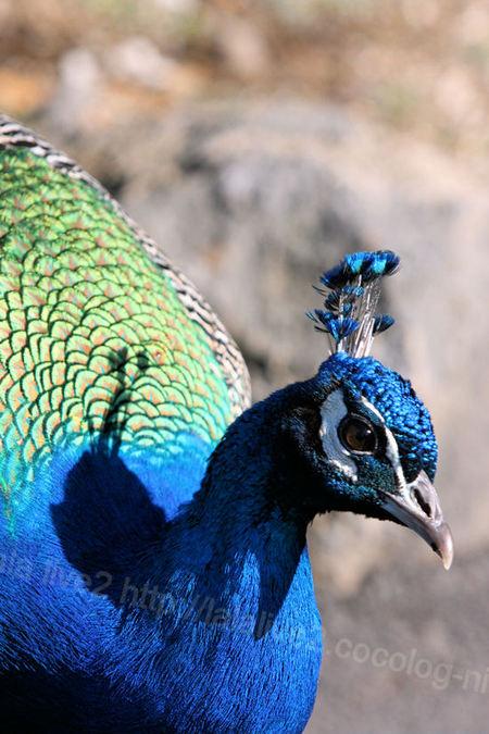 Peacock20110112