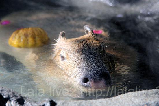 Capybara2011011211