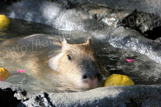 Capybara201101129