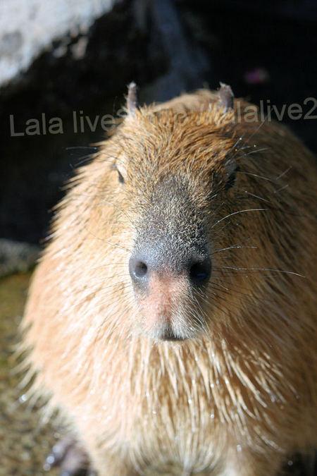 Capybara20110112110
