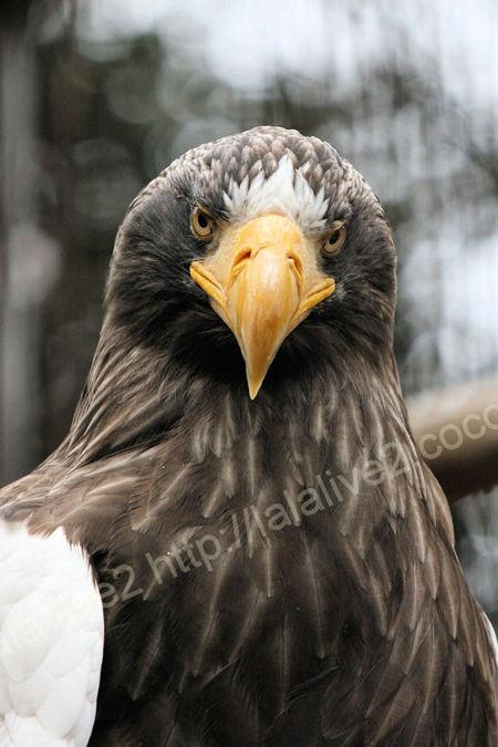 Stellers_sea_eagle20110303
