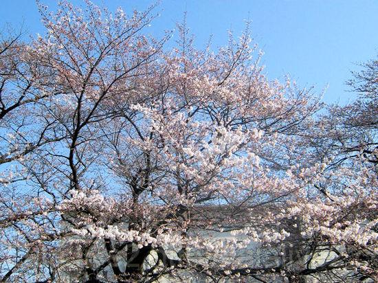 Sakura201104011