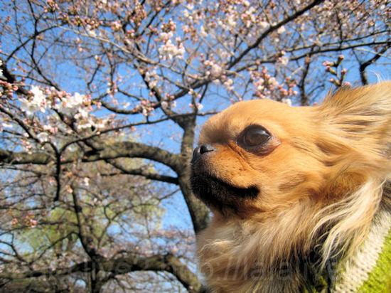 Sakura201104012