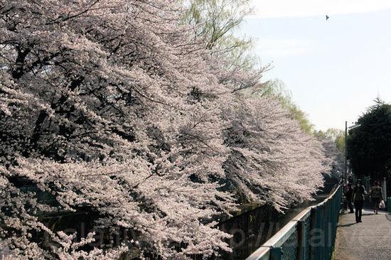 Sakura201104073