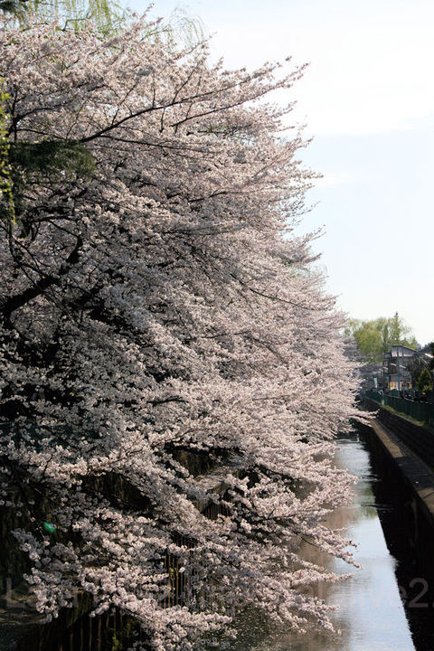 Sakura201104075