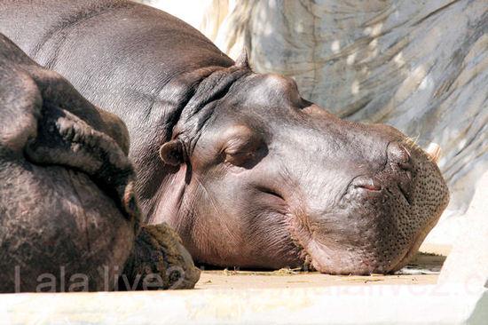Hippo20110303