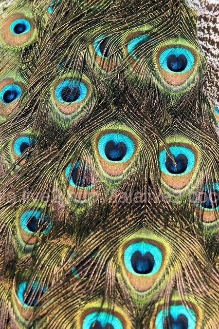 Peacock201101117