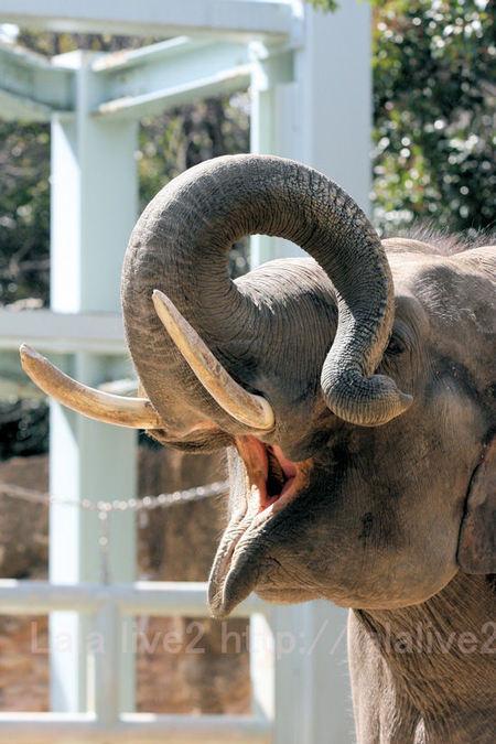 Elephant201103111