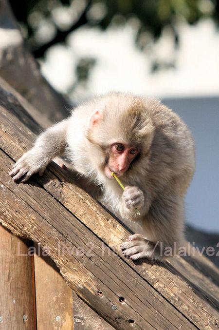 Monkeys201103035