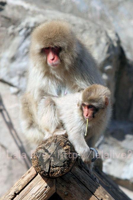 Monkeys201103037