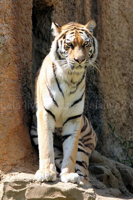 Tiger20110519
