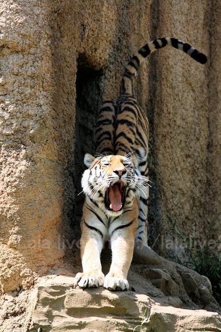 Tiger201105193