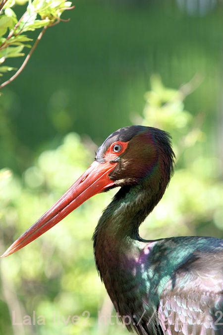 Black_stork20110519