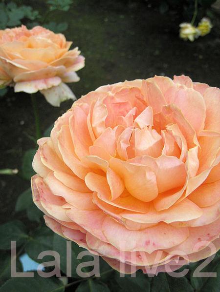 Caramel20110526