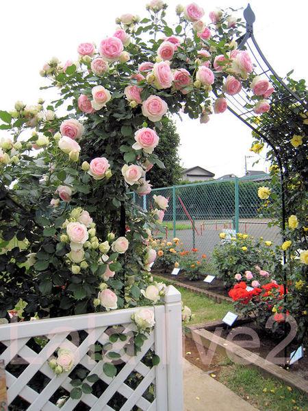 Roses20110526