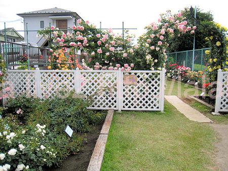 Roses2011052610jpg