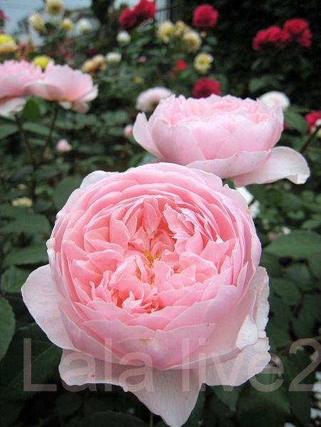 Roses201105261_3
