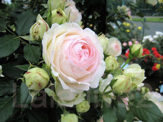 Roses201105262