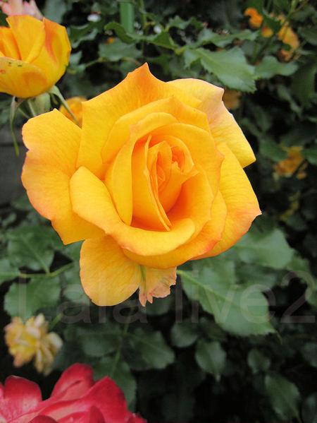 Roses201105263