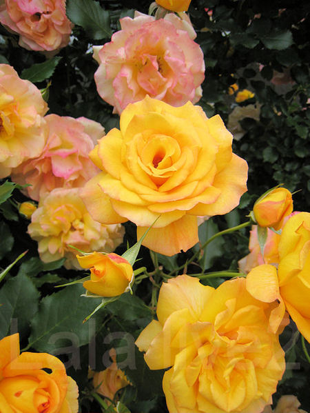 Roses201105264