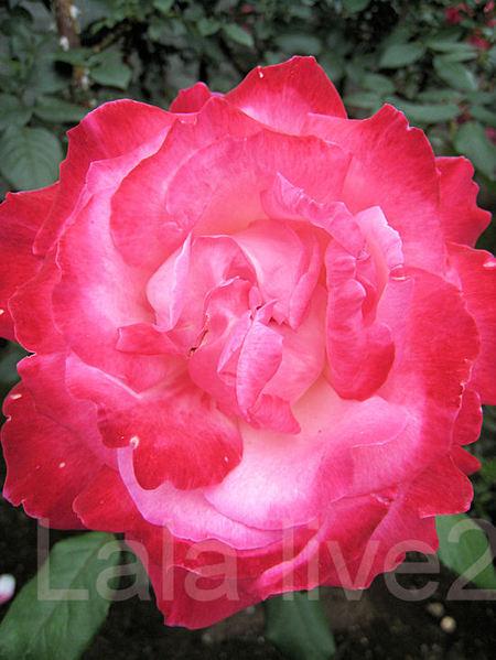Roses201105265