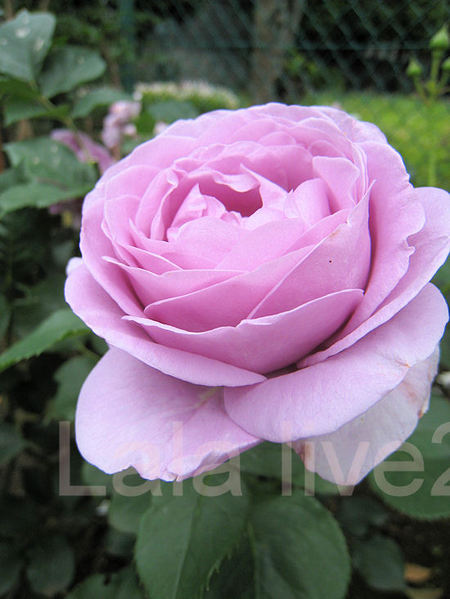 Roses201105266