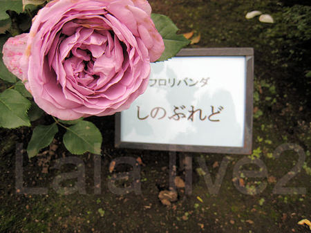 Roses201105267