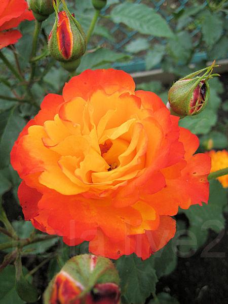 Roses201105268