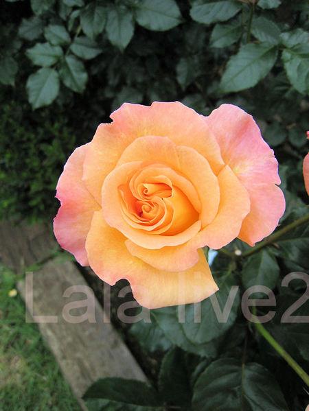 Roses201105269jpg
