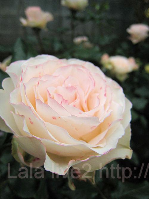 Roses20110526jpg