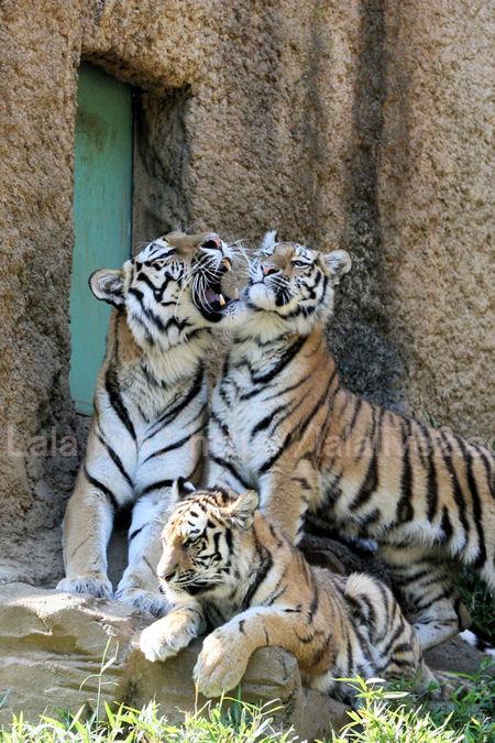 Tigers201105191