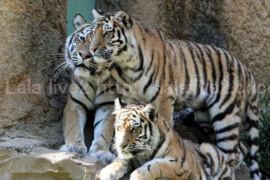 Tigers201105192_2