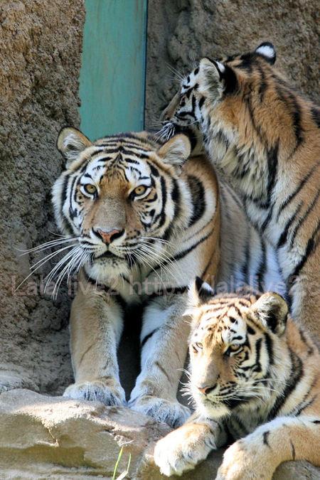 Tigers201105193