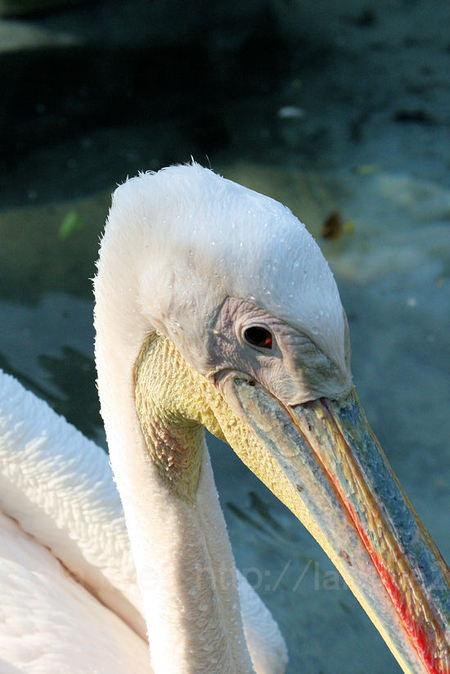 Pelican20110519