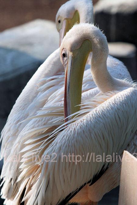 Pelican201105192