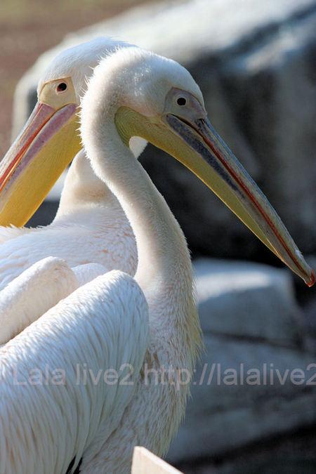 Pelican201105193_2