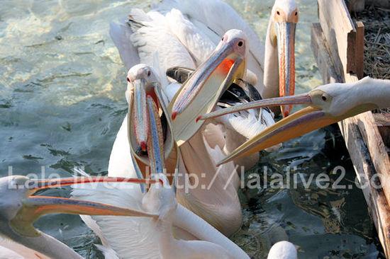 Pelican2011051910_2