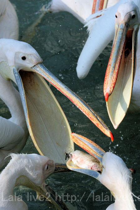 Pelican2011051911