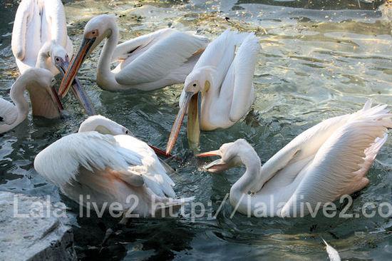 Pelican2011051912_2