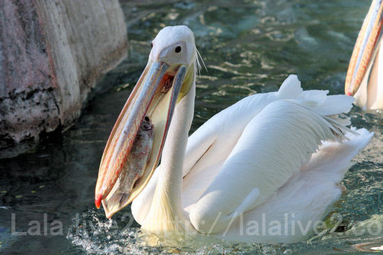 Pelican2011051913_2