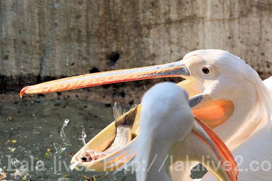 Pelican2011051914