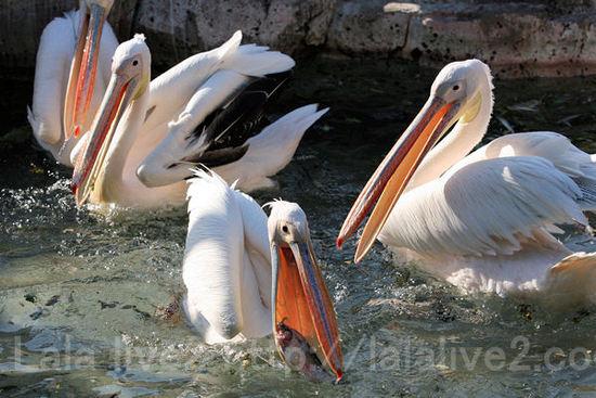 Pelican2011051915_2