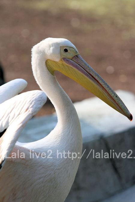 Pelican2011051916