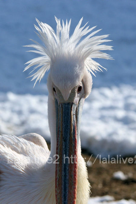 Pelican201101113