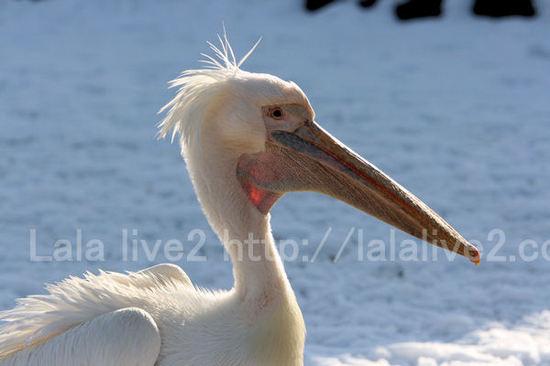 Pelican201101114_2